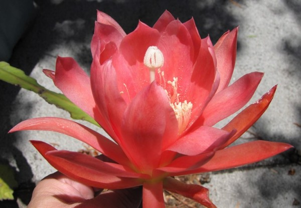 Epiphyllum are not from Africa!